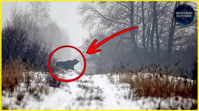 Vacas de Chernobyl enlouqueceram e têm comportamentos estranhos...